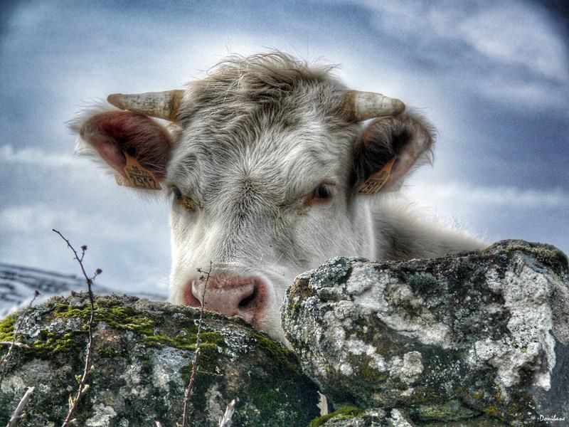 La vaca tímida por Donibane
